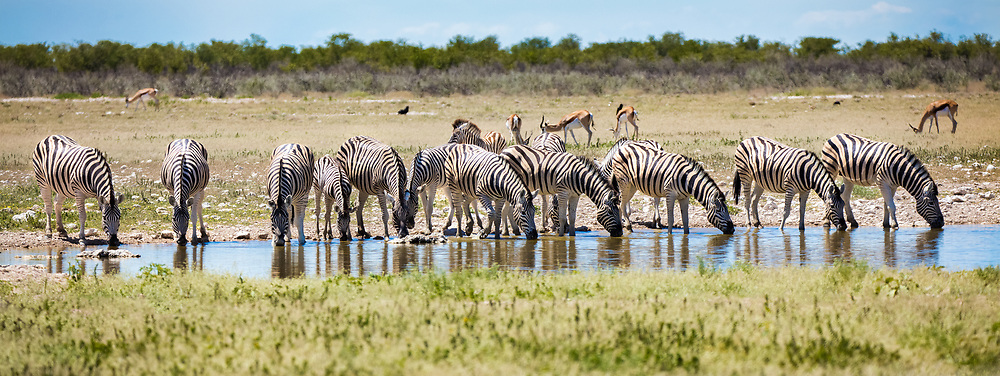 Group of Zebra's drinking from a waterhole, Etosha National Park, Namibia