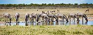Group of Zebra's drinking from a waterhole, Etosha National Park, Namibia