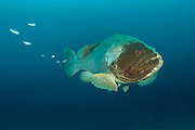 Goliath Grouper, Epinephelus itajara, gather on the Mispah shipwreck offshore Singer Island, Florida, United States during the spawning season in August 2014. Fish with spawning coloration.