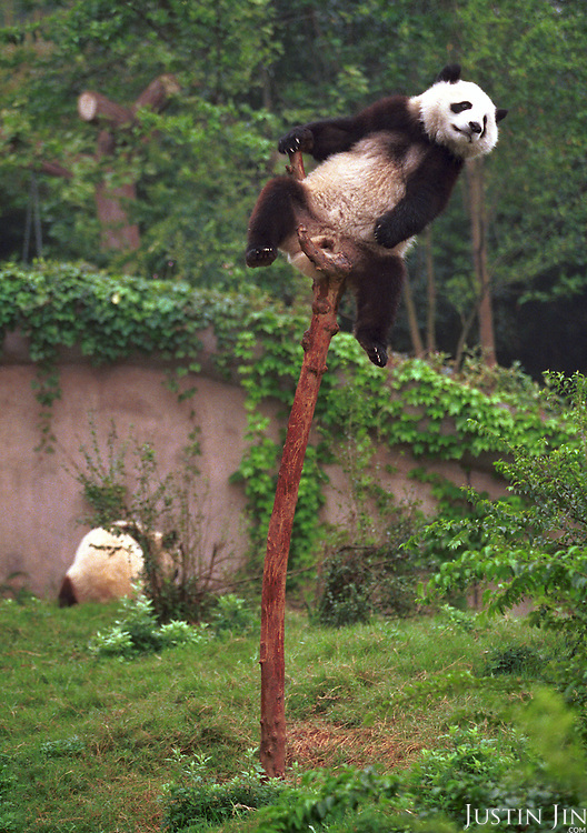Male panda Yang Yang (top) rests on a tree while female panda Lun Lun forages the bush at the Chengdu Panda Base of Giant Panda Breeding. The two 1-1/2 year-old pandas, conceived by artificial insemination, were loaned to Zoo Atlanta in 1999 for at least ten years.