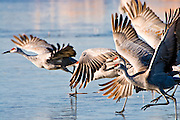 Sandhill Cranes run  across the ice to take off on a cold morning at Bosque del Apache NWR, New Mexico