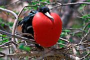 ECUADOR, GALAPAGOS Magnificent Frigatebird; male pouch