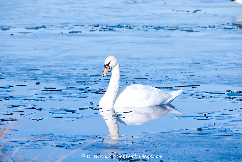 A lone swan on the icy lake: waterfowl can struggle as cold winter temperatures cause the water to freeze over, Sheffield UK 2015