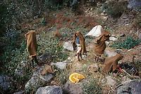 Népal, Région de Gorkha, Ethnie Gurung. Recolte du miel dans les forêts de l'Himalaya. // Nepal, Gorkha area, Gurung ethnic group, Honey hunter.