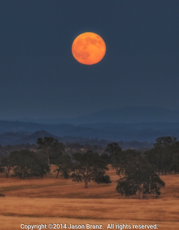Harvest Moon rises over oak trees in the Sierra Nevada foothills of Amador County, California.