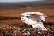 Alaska, Arctic National Wildlife Refuge. Snowy Owl (Bubo scandiacus).