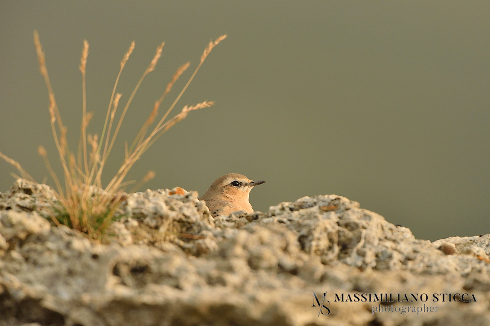The Northern Wheatear or Wheatear (Oenanthe oenanthe) is a small passerine bird that was formerly classed as a member of the thrush family Turdidae, but is now more generally considered to be an Old World flycatcher, Muscicapidae. It is the most widespread member of the wheatear genus Oenanthe in Europe and Asia...The Northern Wheatear is a migratory insectivorous species breeding in open stony country in Europe and Asia with footholds in northeastern Canada and Greenland as well as in northwestern Canada and Alaska. It nests in rock crevices and rabbit burrows. All birds winter in Africa.