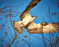 Osprey taking off from a tree at Fort De Soto Park. Pinellas County, Florida Image taken with a Fuji X-T2 camera and 100-400 mm OIS lens (ISO 200, 400 mm, f/5.6, 1/280 sec).