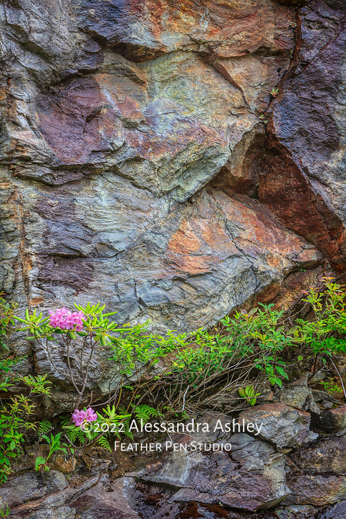 Catawba rhododendron growing in the wild on mountainside along Blue Ridge Parkway, Asheville NC.