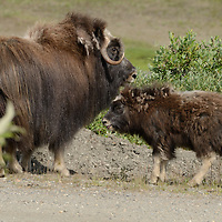 A Musk Ox cow and her calf outside of Nome, AK.
