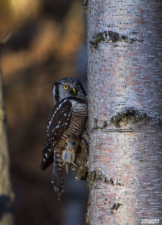 A northern hawk owl clutches her prey while she clings to the trunk of a tree.