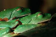 DEU, Deutschland: Paarung zweier Rotaugenlaubfrösche (Agalychnis callidryas, Paarungsverhalten, Männchen umklammert das Weibchen in der Lendengegend um es zur Eiablage zu stimulieren, Amplexus: Paarungsklammergriff, Weibchen trägt das Männchen zum Laichplatz), Männchen schläft auf Weibchen, Lebensraum: Bäume im Tropischen Regenwald, Herkunft: Mittelamerika | DEU, Germany: Copulation of two red eyed tree frogs (Agalychnis callidryas, mating habits, Amplexus: male frog grasps a female with his front legs while she lays her eggs, female carries the male to the spawning ground), male sleeping on female, habitat: trees at tropical rain forest, origin: Central America and the Caribbean |