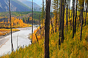 Western larch and cottonwoods along the North Fork Flathead River 14 years after the Moose fire. North Fork Flathead River Valley, northwest Montana.