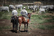 Butteri separating cows in the Tenuta dell'Uccellina park in Maremma (GR)