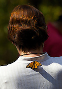 A Monarch Butterfly lands on a tourist at the Monarch Butterfly Biosphere Reserve in Sierra Pellon central Mexico in Michoacan State. Each year hundreds of millions Monarch butterflies mass migrate from the U.S. and Canada to Oyamel fir forests in the volcanic highlands of central Mexico. North American monarchs are the only butterflies that make such a massive journey—up to 3,000 miles (4,828 kilometers).