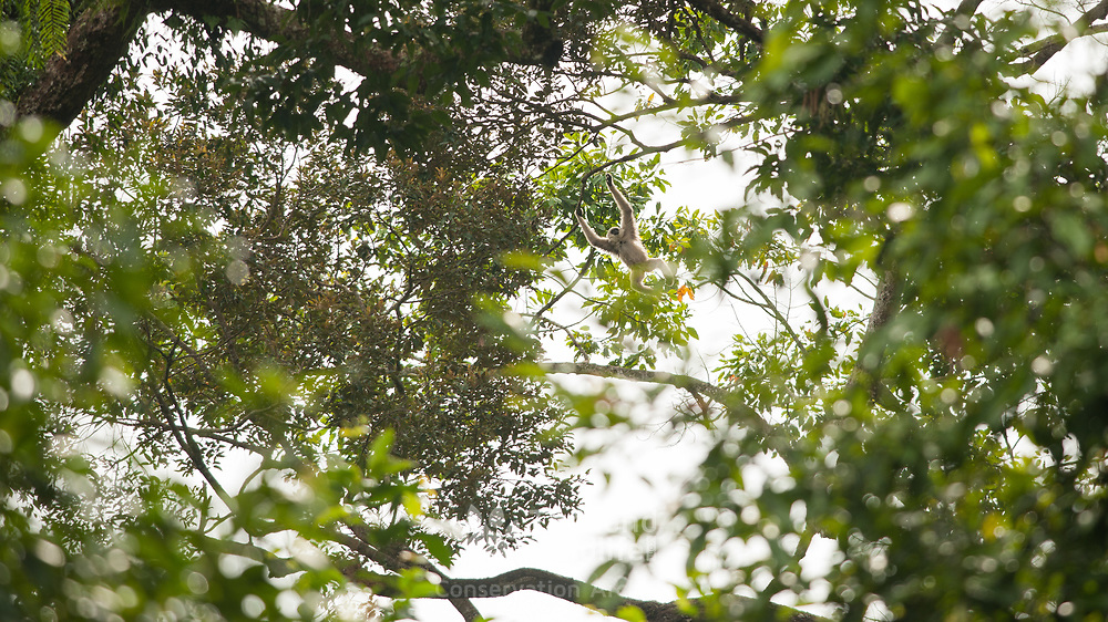 Pileated Gibbon (Hylobates pileatus) young brachiating in Khao Yai national park, Thailand