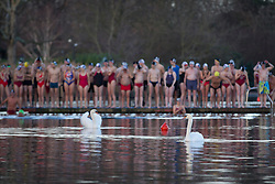 © Licensed to London News Pictures. 25/12/2013. London, UK. Swans lead the way as members of the Serpentine Swimming Club stand on a jetty preparing to take part in the Serpentine Swimming Club's annual Christmas morning 'Peter Pan Cup' race in Hyde Park, London, today (25/12/2013). The race, which takes place every Christmas Day on the Serpentine River, takes its name from from the novel by J.M.Barrie after the author presented the first Peter Pan Cup in 1904. Photo credit: Matt Cetti-Roberts/LNP