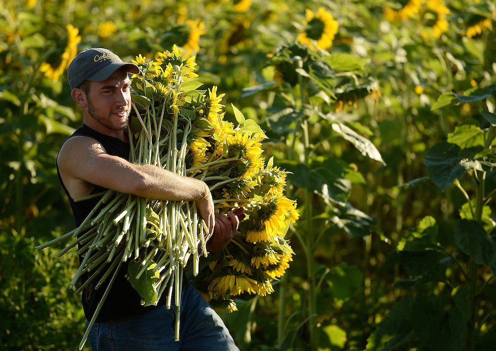 7/28/16 :: REGION :: STAND ALONE :: Volunteer Dillon Florence carries  an armload of blossoms from the field as volunteers harvest sunflowers at Buttonwood Farm in Griswold Thursday, July 28, 2016 for the farm's 13th annuals Sunflowers for Wishes fundraiser. A bouquet of sunflowers can be had for a $10 donation to the Make-A-Wish Foundation during the event which runs through this weekend. The event has raised over $1 million since it began.  (Sean D. Elliot/The Day)