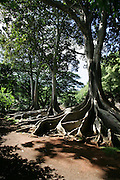 Fig tree, Allerton Garden, Kauai, Hawaii<br />