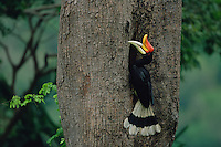 Rhinoceros Hornbill (Buceros rhinoceros) male perched at nest entrance..Budo-Sungai Padi National Park, Thailand.