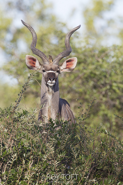 Portrait of Greater Kudu (Tragelaphus strepsiceros), Mala Mala Game Reserve, South Africa