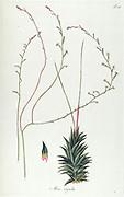 Hand painted botanical study of an Aloe rigida syn  Haworthia rigida (plant anatomy from Fragmenta Botanica by Nikolaus Joseph Freiherr von Jacquin or Baron Nikolaus von Jacquin (printed in Vienna in 1809)