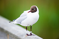 Norway, Stavanger. Black-headed Gull.