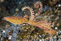 Poison Ocellated Octopus on the move<br /> <br /> Shot in Indonesia