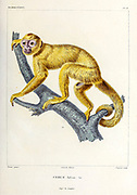 Cebus fulvus [Capuchin monkey probably  tufted capuchin (Sapajus apella)] hand coloured sketched From the book 'Voyage dans l'Amérique Méridionale' [Journey to South America: (Brazil, the eastern republic of Uruguay, the Argentine Republic, Patagonia, the republic of Chile, the republic of Bolivia, the republic of Peru), executed during the years 1826 - 1833] 4th volume By: Orbigny, Alcide Dessalines d', d'Orbigny, 1802-1857; Montagne, Jean François Camille, 1784-1866; Martius, Karl Friedrich Philipp von, 1794-1868 Published Paris :Chez Pitois-Levrault et c.e ... ;1835-1847