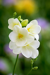 Freesia 'White'