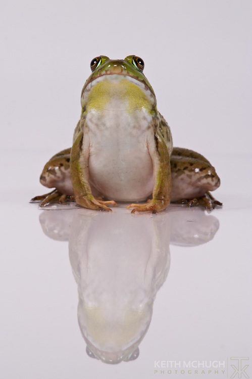 Large Green Frog sticking up his nose to his reflection