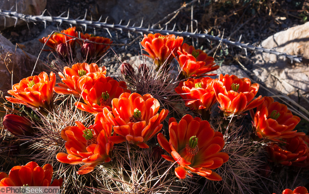 "Echinocereus triglochidiatus (common name Claret Cup Hedgehog, Mojave mound cactus, or Kingcup cactus) is native to southwest USA and northern Mexico. Echinocerens is from the Greek echinos, meaning a hedgehog, and cereus meaning a wax taper. Triglochidialus means ""three barbed bristles"" and refers to the straight spines arranged in clusters of three. Hueco Tanks State Park & Historic Site is popular for birding and bouldering (rock climbing) in El Paso County, Texas, USA."