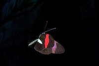 Postman Butterfly , Heliconius melpomene , in flight , Costa Rica , High Speed Photographic Technique Image by Andres Morya