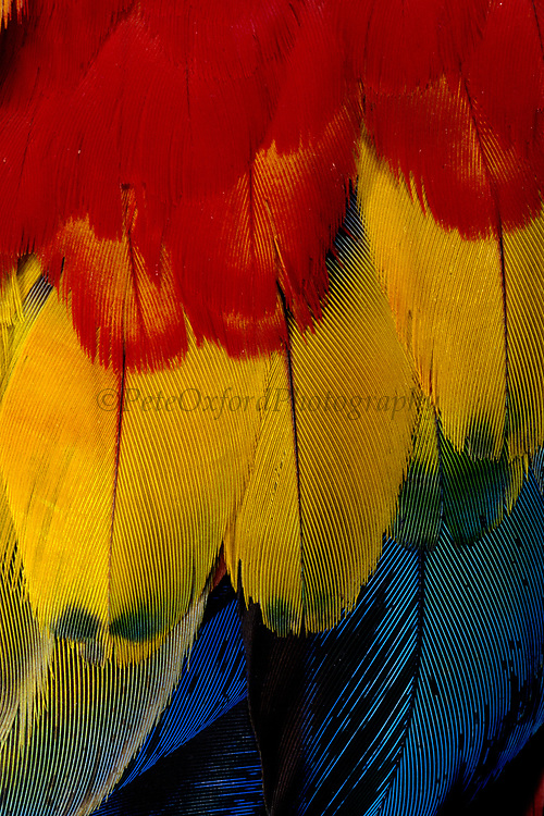 Scarlet Macaw Feathers<br />Ara macao macao<br />Urubamba, Amazon Rain Forest, PERU  South America<br />Range: S. Mexico to Bolivia
