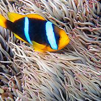Oceania, Fiji. Blue Stripe Clownfish (with young) in anemone of Fiji.