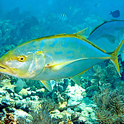 Yellow Jack inhabit open water just above reefs in Tropical West Atlantic; picture taken Key Largo, FL.