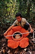 Botanist Jamili Nais measuring Rafflesia flower, Mt Kinabalu National Park, Sabah, Borneo