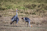 Grey Crowned Crane at Lake Nakuru, Kenya.