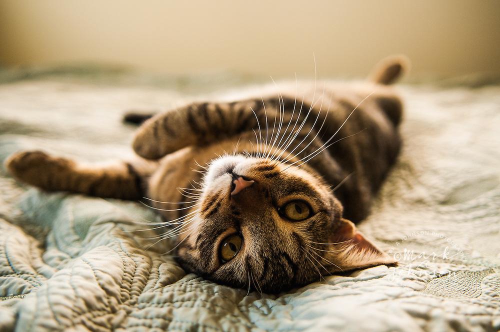 Cat on bed, Kauai, Hawaii