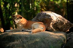 AUSTRALIA QUEENSLAND BILLABONG 23FEB08 - Australian Dingo at the Billabong Sanctuary...jre/Photo by Jiri Rezac..© Jiri Rezac 2008..Contact: +44 (0) 7050 110 417.Mobile:  +44 (0) 7801 337 683.Office:  +44 (0) 20 8968 9635..Email:   jiri@jirirezac.com..Web:    www.jirirezac.com..© All images Jiri Rezac 2008 - All rights reserved.