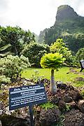Alula, Olulu, Pu-apaka, Brighamia Insignis, Campanulaceae