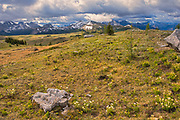 Alpine wildflowers - White mountain avens (Dryas hookeriana) and alpine or snow buttercup (Ranunculus eschscholtzii) in the alpine region of the Canadian Rocky Mountains.  Sunshine Meadows. <br /> <br /> Alberta<br /> Canada