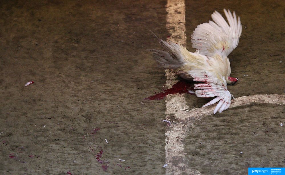 THE PHILIPPINES (Manila). 2009. A game cock spreads it's wings for the last time in the throws of death after a fatal blow delivered by it's competitor during the fight to the death between two game cocks, at the Makati Coliseum, Makati City, Manila. Photo Tim Clayton <br /> <br /> Cockfighting, or Sabong as it is know in the Philippines is big business, a multi billion dollar industry, overshadowing Basketball as the number one sport in the country. It is estimated over 5 million Roosters will fight in the smalltime pits and full-blown arenas in a calendar year. TV stations are devoted to the sport where fights can be seen every night of the week while The Philippine economy benefits by more than $1 billion a year from breeding farms employment, selling feed and drugs and of course betting on the fights...As one of the worlds oldest spectator sports dating back 6000 years in Persia (now Iran) and first mentioned in fourth century Greek Texts. It is still practiced in many countries today, particularly in south and Central America and parts of Asia. Cockfighting is now illegal in the USA after Louisiana becoming the final state to outlaw cockfighting in August this year. This has led to an influx of American breeders into the Philippines with these breeders supplying most of the best fighting cocks, with prices for quality blood lines selling from PHP 8000 pesos (US $160) to as high as PHP 120,000 Pesos (US $2400)..
