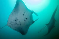 Mantas feed in murky water<br /> <br /> Shot in Indonesia
