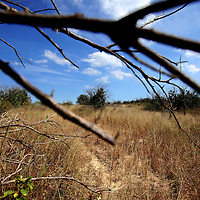 LAKE WALES, FL -- October 13, 2010 -- Abandoned and dying orange groves along Saint Anne Shrine Rd. is seen in Lake Wales, Fla., on Wednesday, October 13, 2010.  The housing bust left orange groves - which were scooped up by investors - unattended, overgrown and full with disease.  That disease is spreading to healthy, adjacent fields - leaving citrus growers scrambling to replant lost production. .ORANGES
