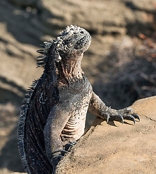 One of the thousands of iguana's in the Galapagos catching the suns warm rays.