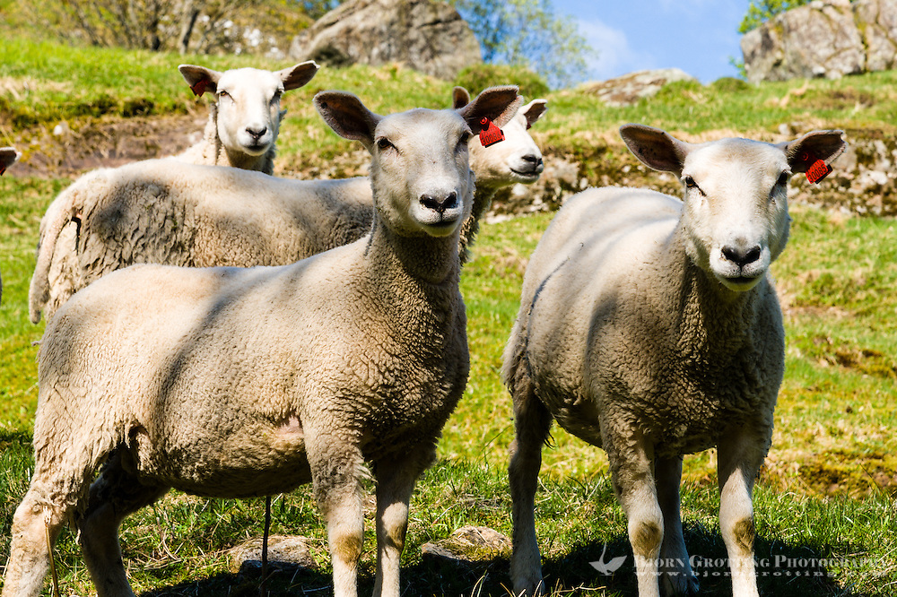 Norway, Sokndal, Løtoft. Domestic sheep.
