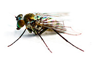 Iridescent House Fly