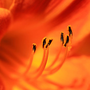 """Vivacious Orange Lily""<br />