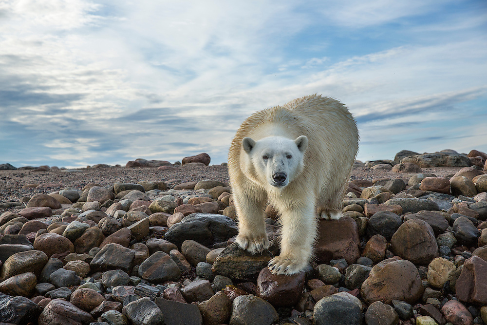 Canada, Nunavut Territory, Arviat, Polar Bear (Ursus maritimus) walking along rocky shoreline of Sentry Island along Hudson Bay